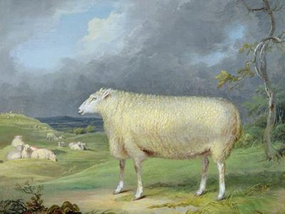 A Border Leicester Ewe by James Ward