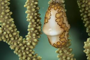 A Flamingo Tongue Snail Climbs across Soft Coral in Underwater Macro Photo, Bahamas by James White