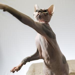 A hairless sphinx cat takes a swing at a toy by James White