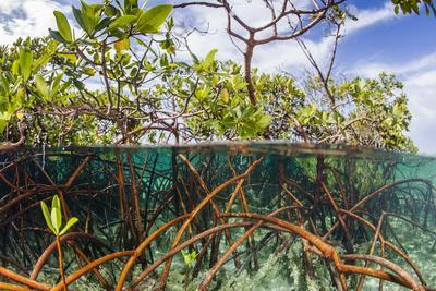 Above Water and Below Water View of Mangrove with Juvenile Snapper and Jack