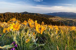 Balsam Root Flowers Above Missoula Valley, Missoula, Montana by James White