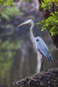 Blue Heron Stalks Fish Taken at Robinson Preserve in Bradenton, Florida by James White