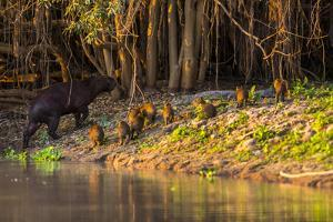 Capybara leads her group of babies out of the water in the Pantanal, Brazil by James White
