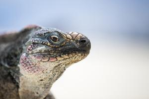 Close-Up of an Iguana on the Beach Near Staniel Cay, Exuma, Bahamas by James White