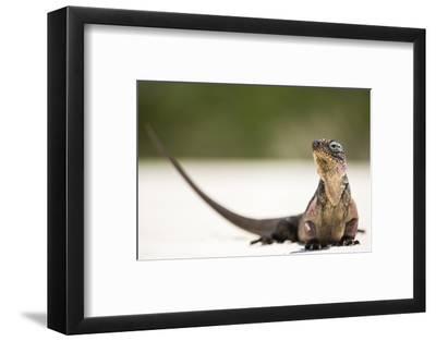 Close-Up Portrait of an Iguana on the Beach Near Staniel Cay, Exuma, Bahamas