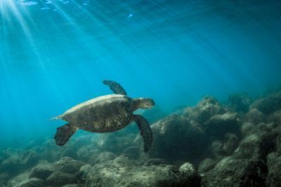Green Sea Turtle Swimming Off the North Shore of Oahu, Hawaii by James White