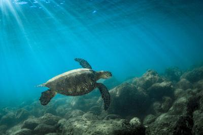 Green Sea Turtle Swimming Off the North Shore of Oahu, Hawaii