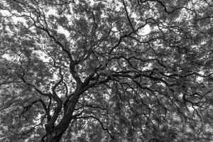 Gum Trees Near Recoleta Section of Buenos Aires by James White