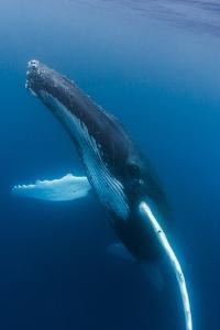 Large humpback whale ascends through the clear blue of the Silver Bank, Dominican Republic by James White