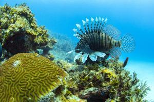 Lionfish swims along the edge of a coral reef, Cuba. by James White