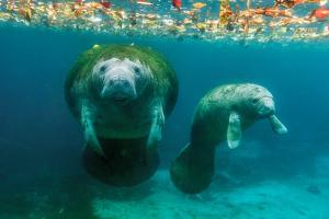 Mother Manatee with Her Calf in Crystal River, Florida by James White