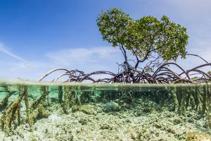 Over and under Water Photograph of a Mangrove Tree , Background Near Staniel Cay, Bahamas by James White