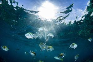 Sergeant Major Fish Swim Near Surface with Sunrays Shining Through, Looe Key Reef, Florida Keys by James White