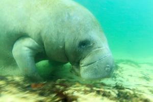Solitary Manatee Swimming in the Weeki Wachee River, Florida by James White
