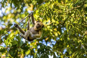 Young Capuchin Monkey hangs with his prehensile tail in the Pantanal, Brazil by James White