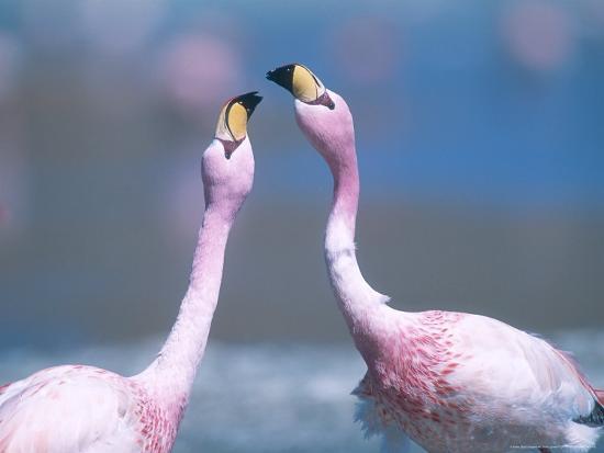 Jamess Flamingo, Males Squabbling, Bolivia-Mark Jones-Photographic Print