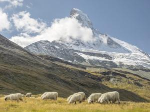 Switzerland, Zermatt, Schwarzsee, Valais Blacknose Sheep with Matterhorn by Jamie And Judy Wild