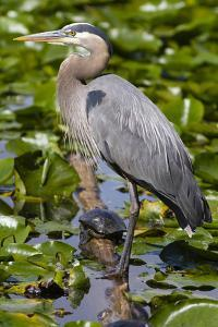 Wa, Juanita Bay Wetland, Great Blue Heron, Ardea Herodias by Jamie And Judy Wild