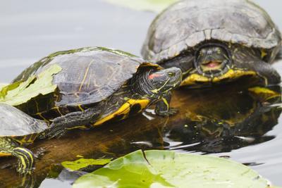 Wa, Juanita, Juanita Bay Wetland, Painted Turtles, Chrysemys Picta