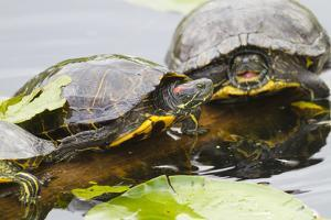 Wa, Juanita, Juanita Bay Wetland, Painted Turtles, Chrysemys Picta by Jamie And Judy Wild