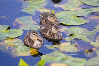 Wa, Mercer Slough, Wood Duck Ducklings, Aix Sponsa