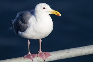 Wa, San Juan Islands, Glaucous Winged Gull, Larus Glaucescens by Jamie And Judy Wild