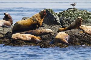 Wa, San Juan Islands, Haro Strait, Steller Sea Lions by Jamie And Judy Wild