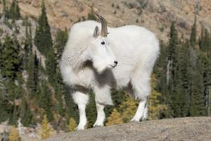 Washington, Alpine Lakes Wilderness, Mountain Goat, Billy Goat by Jamie And Judy Wild