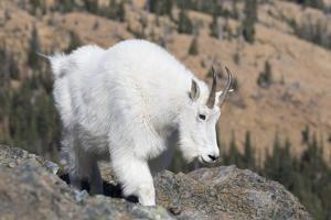 Washington, Alpine Lakes Wilderness, Mountain Goat, Nanny by Jamie And Judy Wild