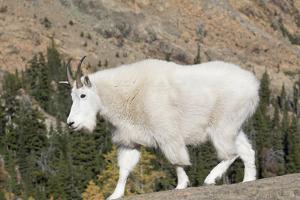 Washington, Alpine Lakes Wilderness, Mountain Goat by Jamie And Judy Wild