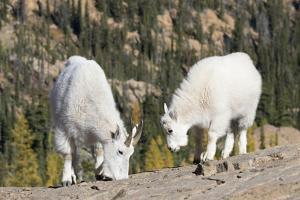 Washington, Alpine Lakes Wilderness, Mountain Goats, Nanny and Kid by Jamie And Judy Wild