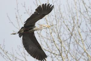 Washington, Redmond, Great Blue Heron, Flying Back to Nest with a Stick by Jamie And Judy Wild