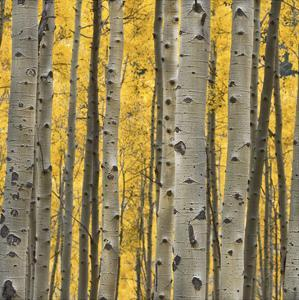 Aspen Trees 3 by Jamie Cook