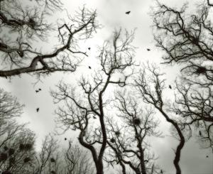 Crow Rookery by Jamie Cook