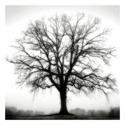 Fountain Oak