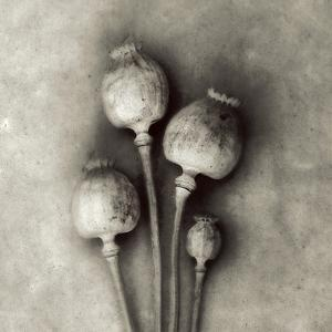 Poppy 2 by Jamie Cook