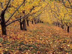 Apple Orchard in Autumn, Oroville, Washington, USA by Jamie & Judy Wild
