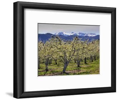 Apple Orchard in Bloom, Dryden, Chelan County, Washington, Usa
