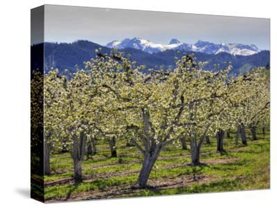 Apple Orchard in Bloom, Dryden, Chelan County, Washington, Usa
