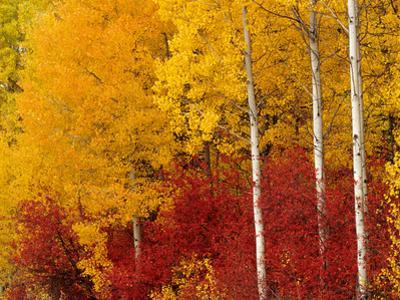 Aspen Trees in Autumn, Wenatchee National Forest, Washington, USA by Jamie & Judy Wild