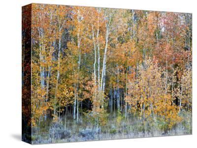 Aspens, Sawtooth National Recreation Area, Idaho, USA
