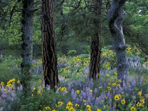 Balsam Root and Lupine Among Pacific Ponderosa Pine, Rowena, Oregon, USA by Jamie & Judy Wild