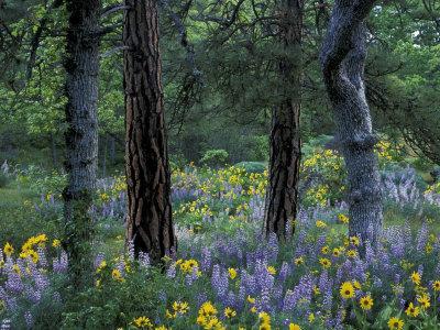 Balsam Root and Lupine Among Pacific Ponderosa Pine, Rowena, Oregon, USA