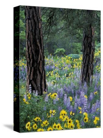 Balsam Root and Lupines Among Pacific Ponderosa Pine, Rowena, Oregon, USA