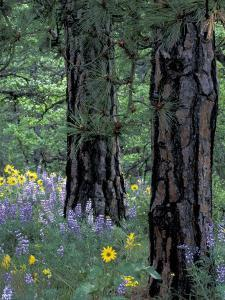 Balsam Root and Lupines Among Pacific Ponderosa Pine, Rowena, Oregon, USA by Jamie & Judy Wild