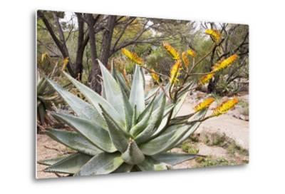 Cactus and Succulent Garden, Mountain Aloe, Tucson, Arizona, USA