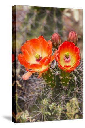 Claret Cup Cactus, Arizona-Sonora Desert Museum, Tucson, Arizona, USA