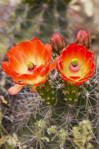 Claret Cup Cactus, Arizona-Sonora Desert Museum, Tucson, Arizona, USA by Jamie & Judy Wild