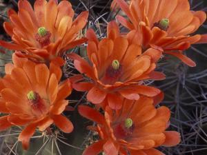 Claret Cup Cactus Flowers, San Xavier, Arizona, USA by Jamie & Judy Wild