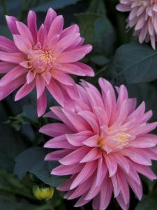Dahlia Detail in the Bellevue Botanical Garden, Bellevue, Washington, USA by Jamie & Judy Wild